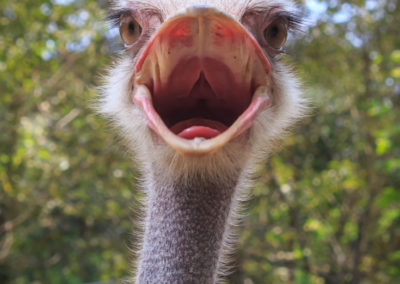 Head Shot of an Ostrich