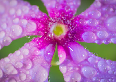 Pink Flower and Drops