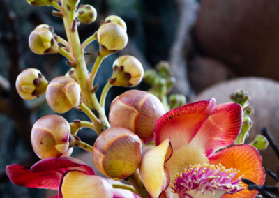 ayahuma flower or cannonball tree